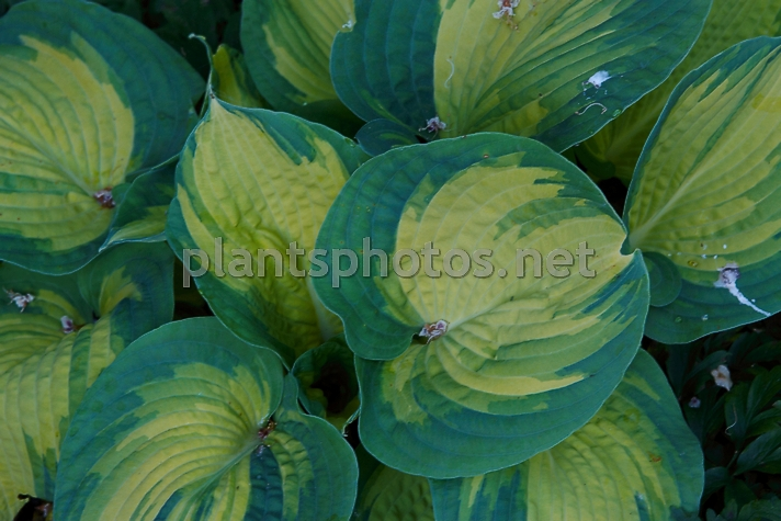 Hosta Great Expectation IMG_9429, Funkia, **