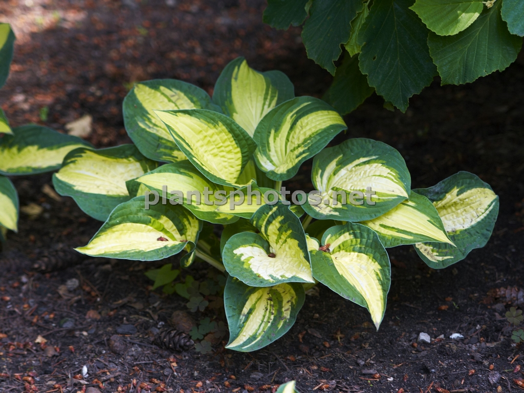 Hosta Reversed, Funkia,