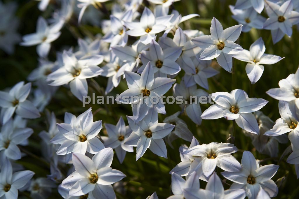 Ipheion uniflorum Wisley Blue-1, Ifejon jednokwiatowy,