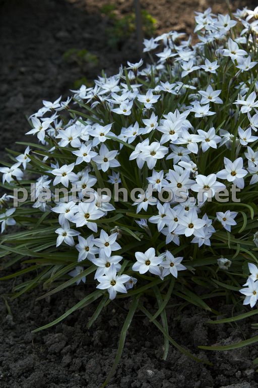 Ipheion uniflorum Wisley Blue, Ifejon jednokwiatowy,