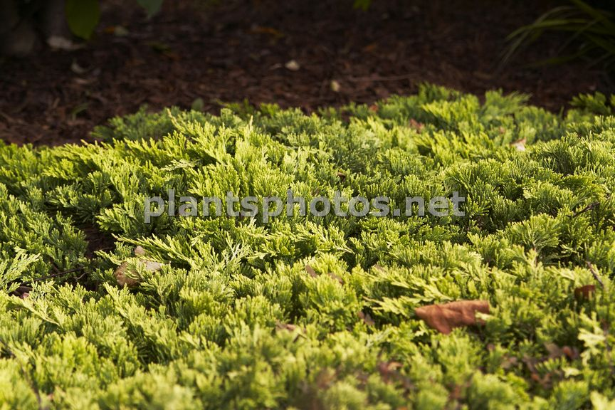 Juniperus horizontalis Golden Carpet &polska