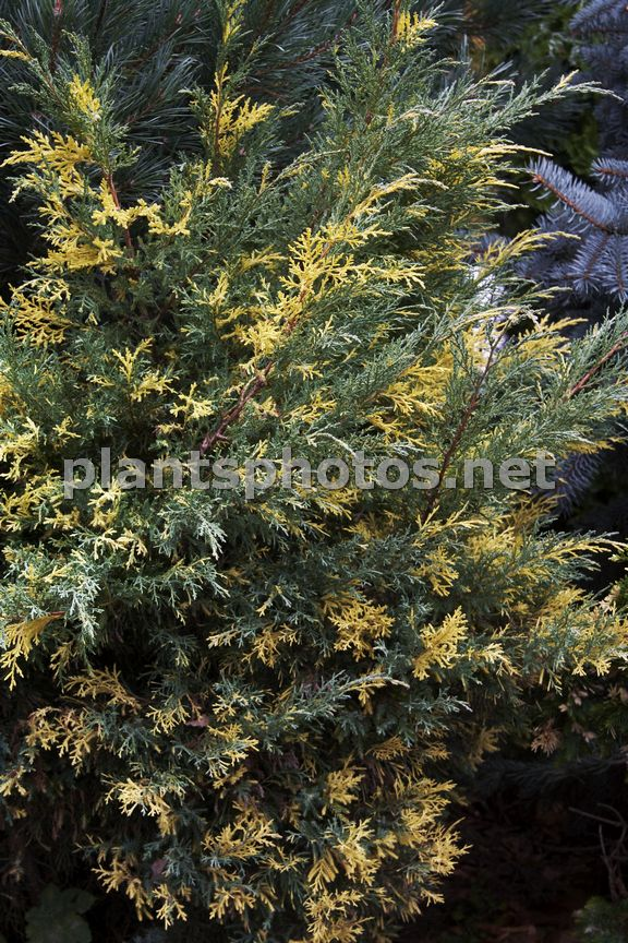 Juniperus pfitzeriana Blue and Gold IMG_6462, Jałowiec Pfitzera,