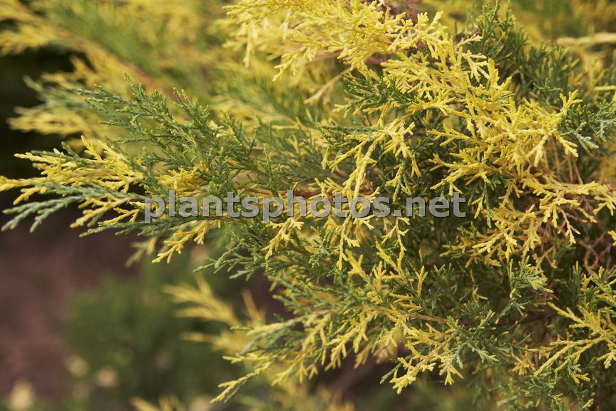 Juniperus pfitzeriana Blue and Gold-2, Jałowiec Pfitzera,