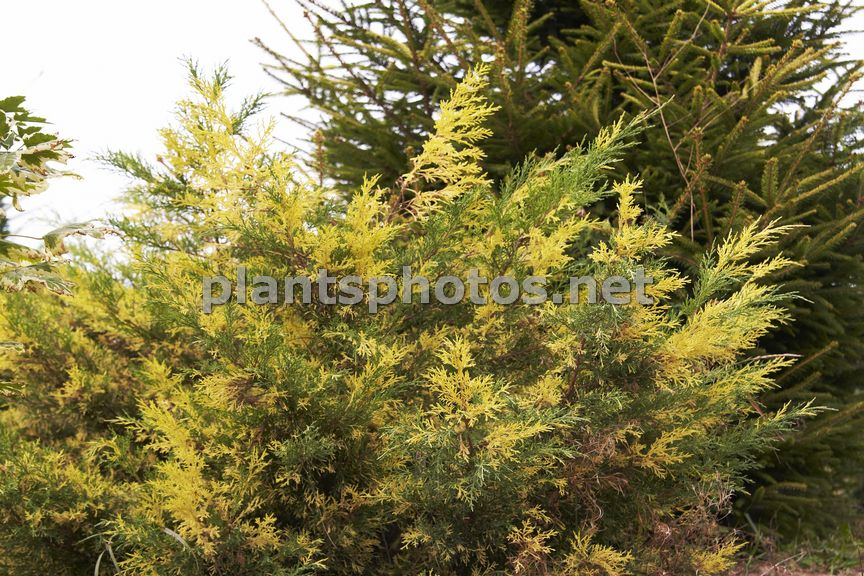Juniperus pfitzeriana Blue and Gold, Jałowiec Pfitzera,