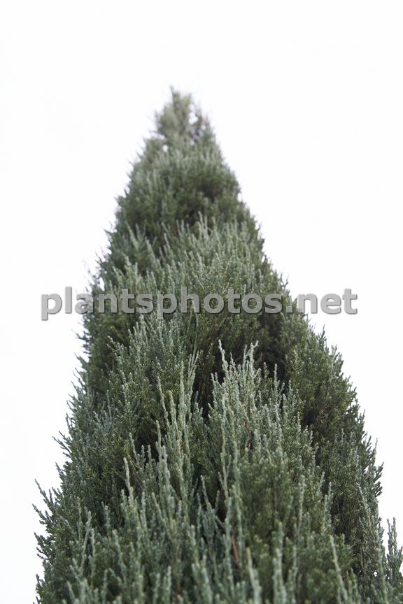 Juniperus scopulorum Blue Arrow-1, Jałowiec skalny,