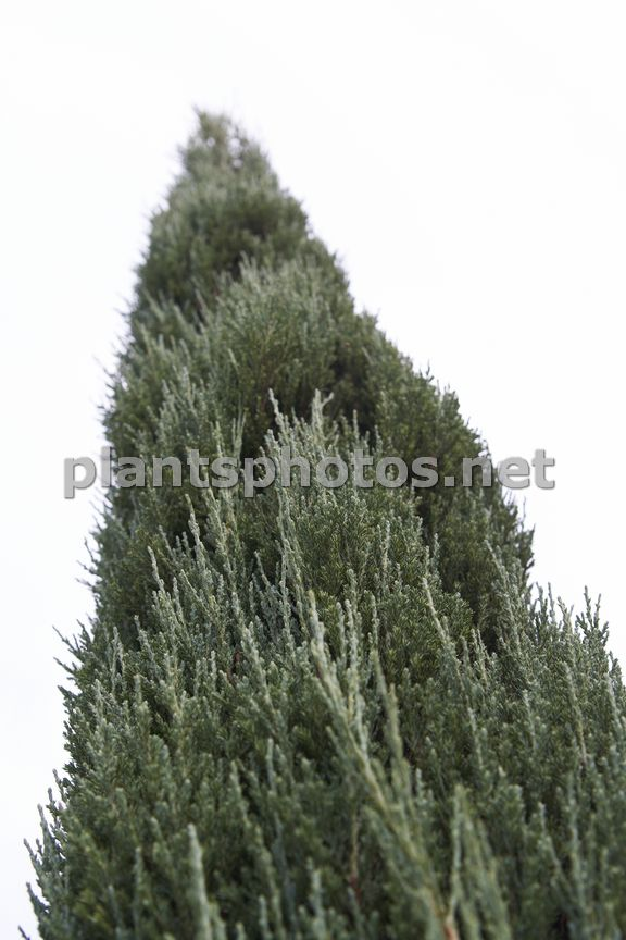 Juniperus scopulorum Blue Arrow-2, Jałowiec skalny,