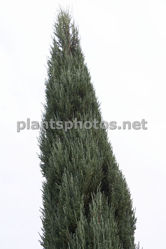 Juniperus scopulorum Blue Arrow, Jałowiec skalny,