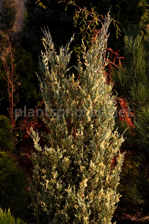 Juniperus scopulorum Moonglow Variegated IMG_1775, Jałowiec skalny, *