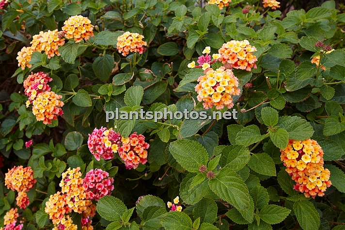 Lantana camara (Canary Islands) IMG_8842 &polska