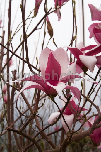 Magnolia soulangeana Royal Crown IMG_5292 &polska