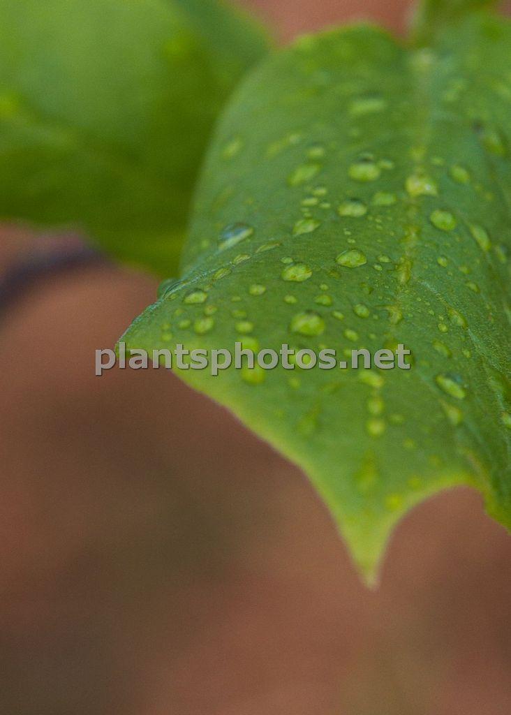 Magnolia-1 &polska