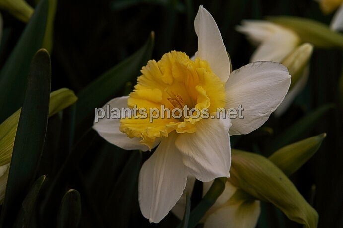 Narcissus Ice Follies IMG_9431 &polska