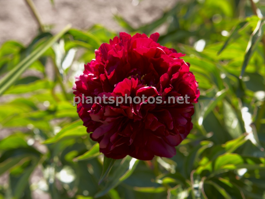 Paeonia Highlight, Piwonia,