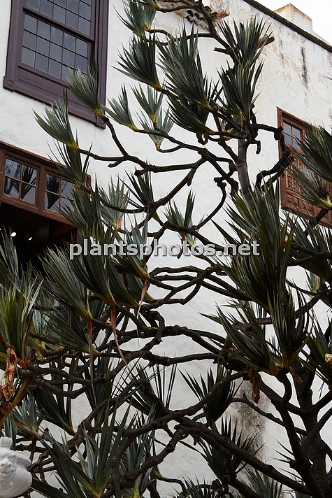 Pandanus utilis (Canary Islands) IMG_8981, , ****
