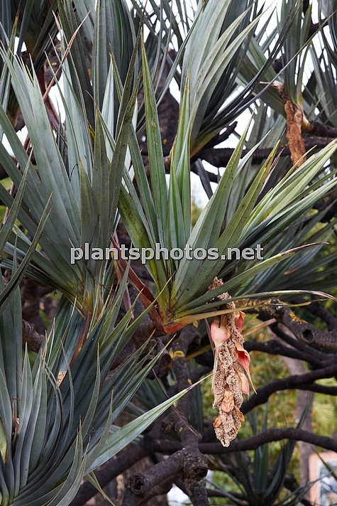 Pandanus utilis (Canary Islands) IMG_8982, , ****