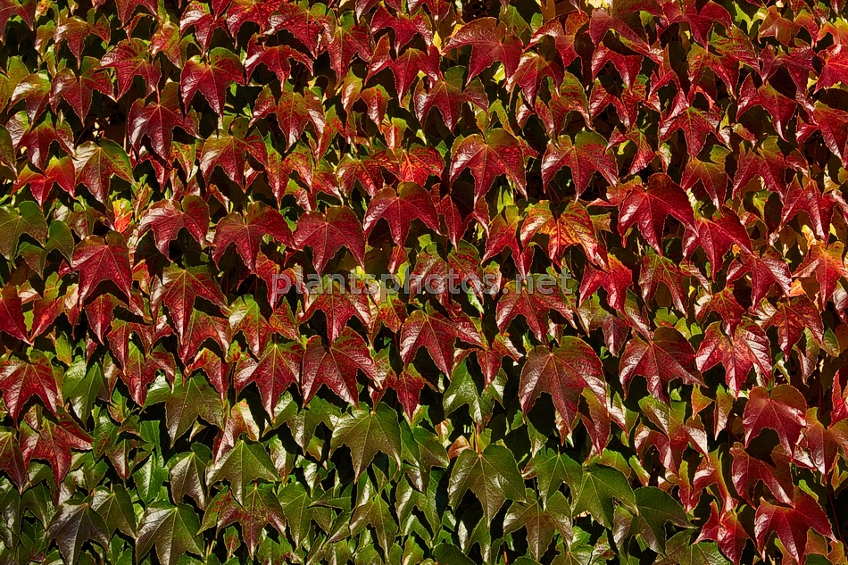 parthenocissus tricuspidata veitchii img 1148 winobluszcz tr jklapowy. Black Bedroom Furniture Sets. Home Design Ideas