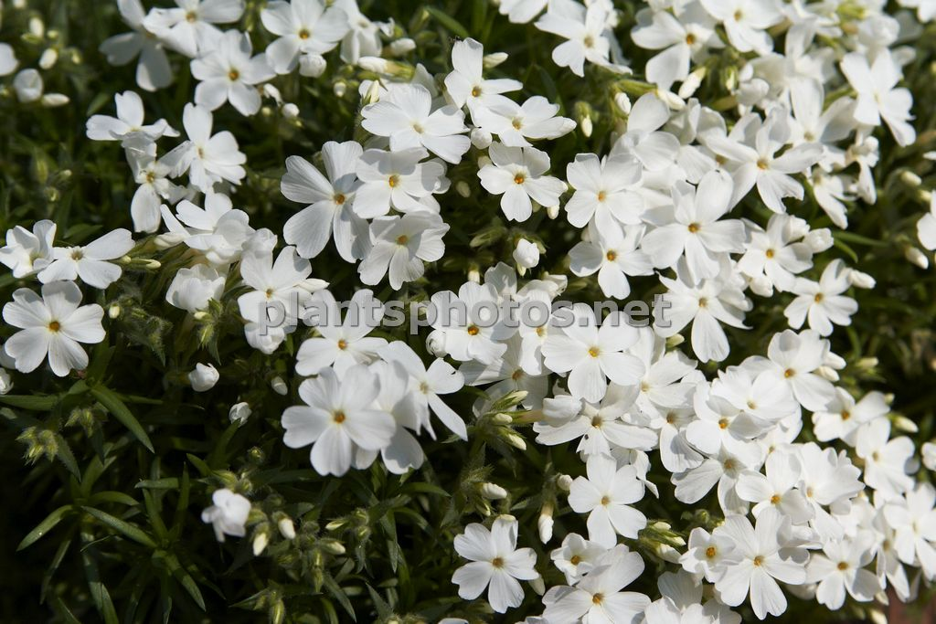 Phlox subulata White Delight, Płomyk szydlasty,