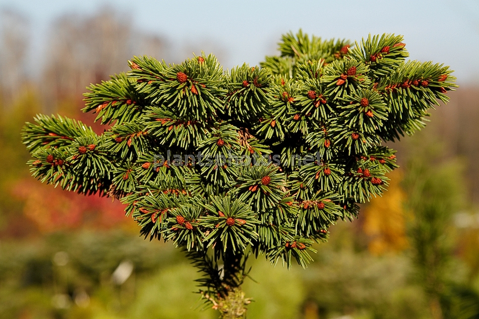 Picea abies Clement IMG_1908 &polska