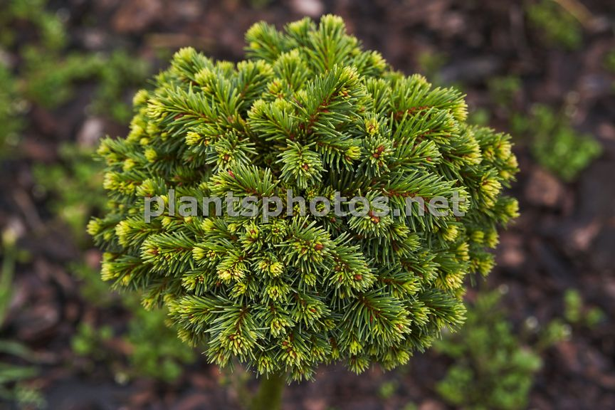 Picea abies Clement IMG_6408 &polska