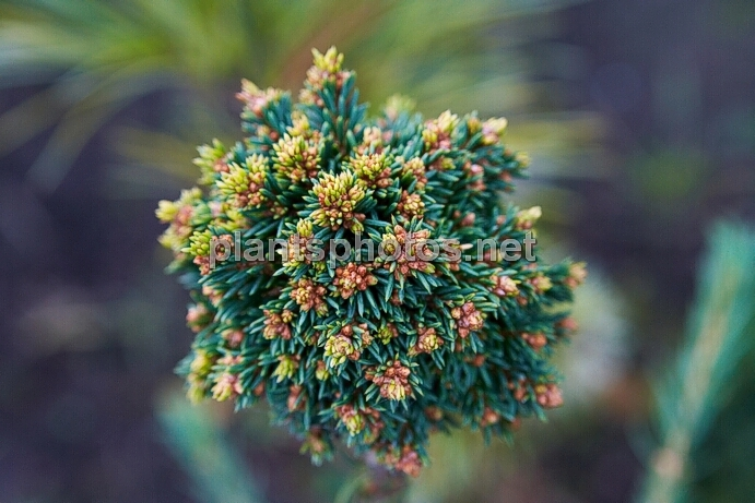 Picea abies Damphy IMG_6699 &polska