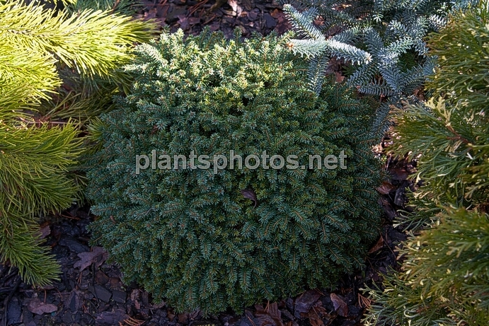 Picea abies Little Gem IMG_8271 &polska