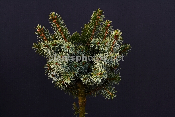 Picea sitchensis Papoose IMG_2655_1 &polska