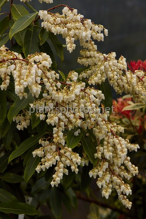 Pieris Brouwer's Beauty IMG_2258, Pieris japoński, ***