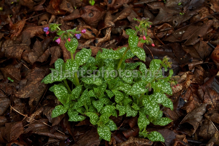 Pulmonaria officinalis IMG_9160 &polska