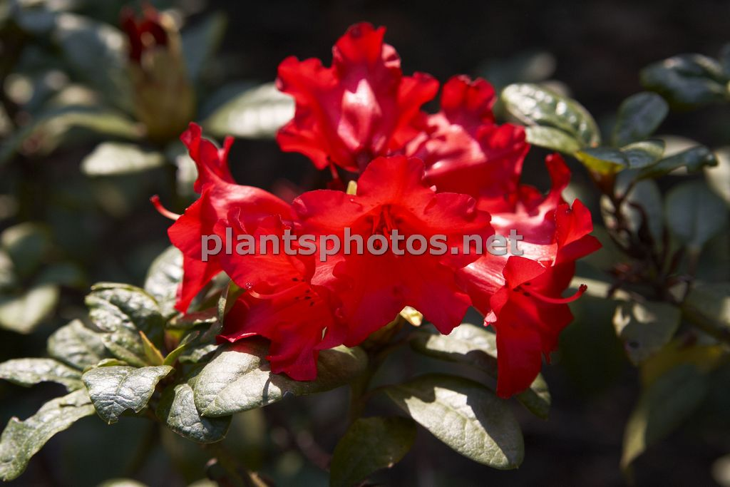 Rhododendron Bengal &polska