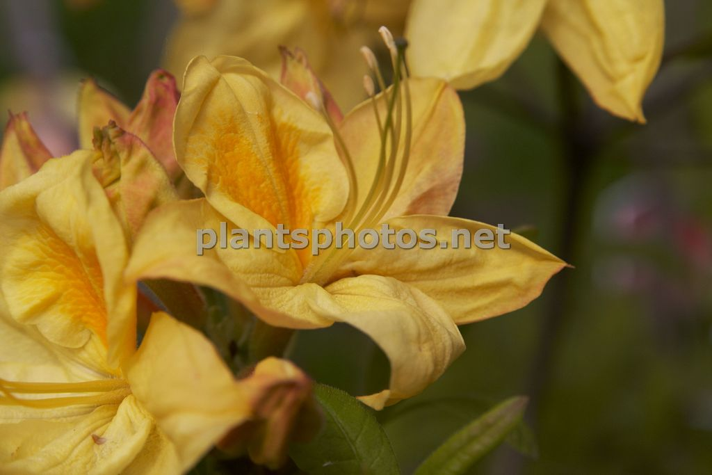 Rhododendron Golden Sunset, Azalia,