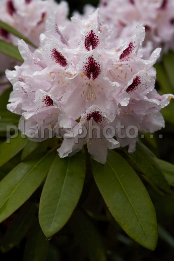 Rhododendron catawbiense Calsap IMG_6788 &polska