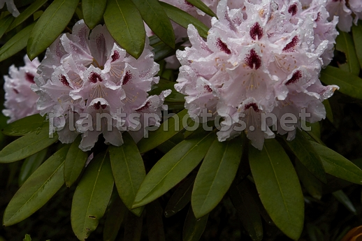 Rhododendron catawbiense Calsap IMG_6789 &polska