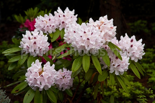 Rhododendron catawbiense Calsap IMG_6790 &polska