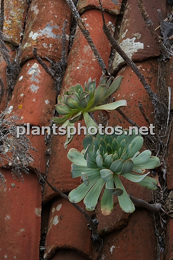 Sempervivum (Canary Islands) IMG_9502 &polska