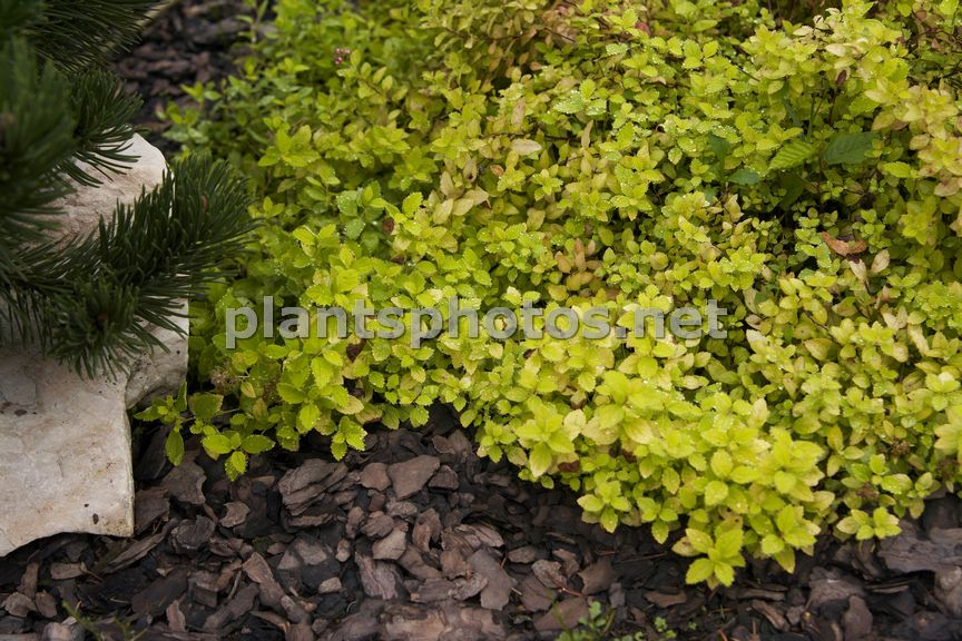 Spiraea japonica Golden Carpet &polska