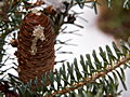 Abies koreana Blue Magic IMG_4730 Jodła koreańska
