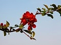 Chaenomeles superba Crimson and Gold IMG_2145 Pigwowiec pośredni