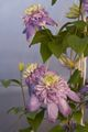 Clematis Blue Light-1 Powojnik
