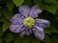 Clematis Blue Light Powojnik