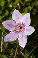 Clematis Nelly Moser-2 Powojnik
