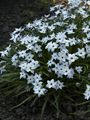 Ipheion uniflorum Wisley Blue Ifejon jednokwiatowy