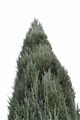 Juniperus scopulorum Blue Arrow-1 Jałowiec skalny