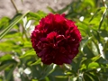 Paeonia Highlight Piwonia