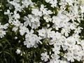Phlox subulata White Delight Płomyk szydlasty