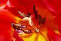 Tulipa-1 Tulipan