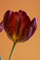 Tulipa-5 Tulipan