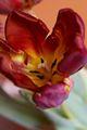 Tulipa-6 Tulipan