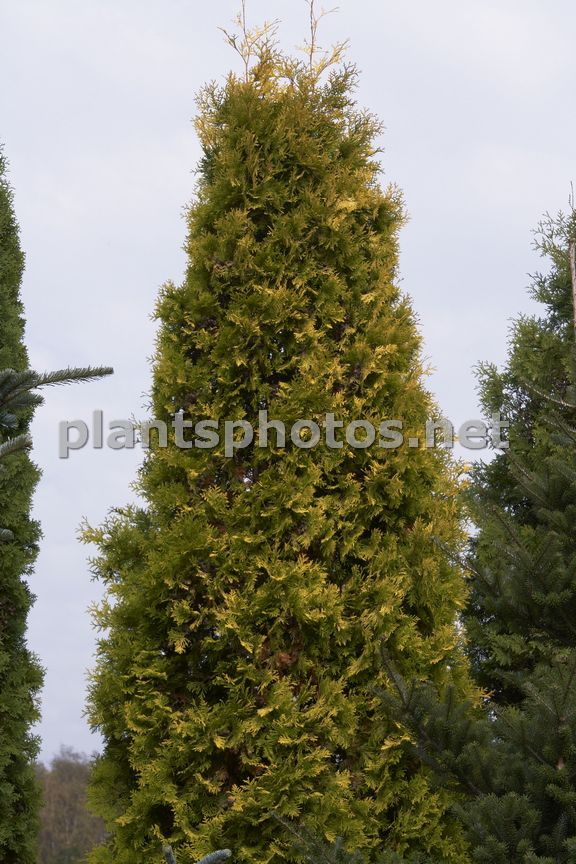 Thuja occidentalis Aurescens IMG_6252 &polska