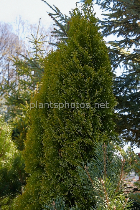 Thuja occidentalis Golden Smaragd IMG_3849 &polska