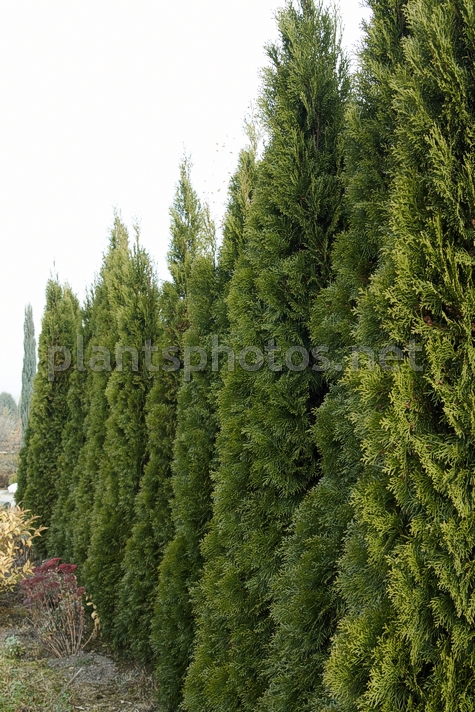 Thuja occidentalis Smaragd IMG_1415 &polska